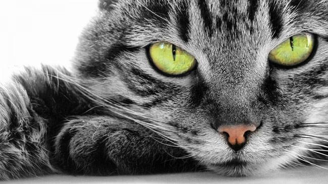 Какие цвета видят кошки